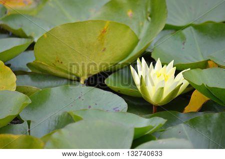 Yellow Waterlily flower peeking through green lily pads