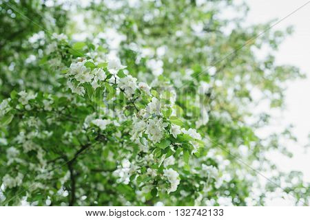 big apple tree in bloom, white flowers, shallow focus