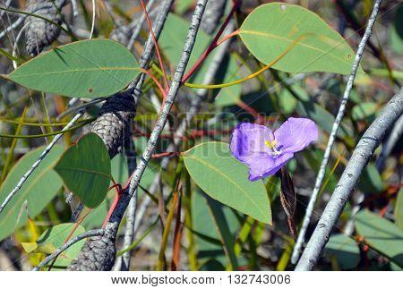 Australian native wildflower, the leafy purple flag iris (Patersonia glabrata), amongst gum leaves