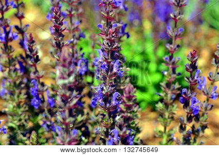 blue weed Ajuga reptans growing in spring and summer