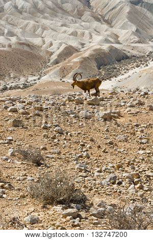 Ibex on the Rocky Hills of the Negev Desert in Israel