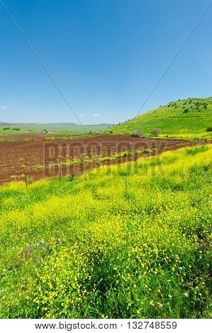 Rows of Vines on the Field in Golan Heights Early Spring