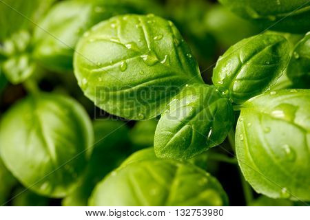 Genovese basil (Ocimum basilicum) seedling plant close up