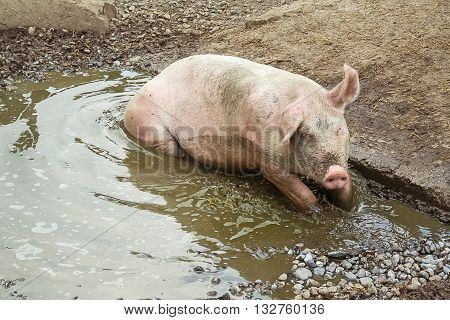 Pig lies in puddle top view animal world