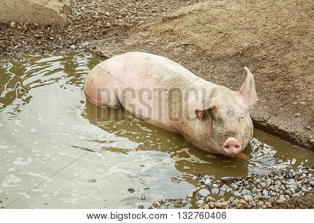 Pig lies in puddle top view, animal