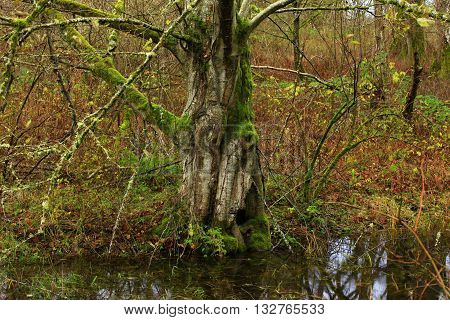a picture of an exterior Pacific Northwest forest alder tree in fall