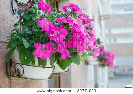outside basket filled with vibrant pink petunias, surfinia