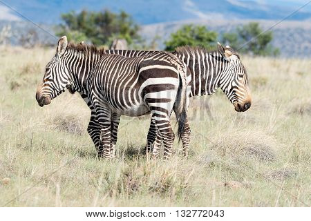 Two mountain zebra Equus zebra zebra looking opposite directions near Cradock in South Africa