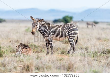 A mountain zebra mare Equus zebra zebra with foal laying in grass near Cradock in South Africa