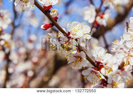 Bees Pollinate Young Tree Flowers In The Garden, Bee Collects Pollen With Fruit Trees
