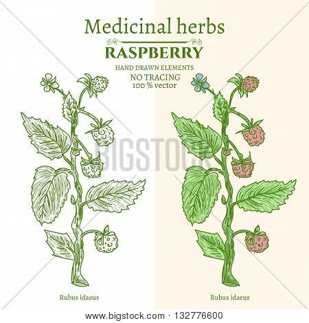 Medical plants and herbs: Raspberry hand drawn vintage sketch vector illustration