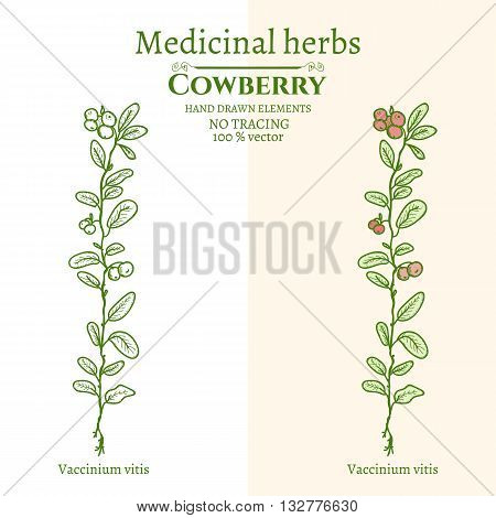 Medical plants and herbs: Cowberry hand drawn vintage sketch vector illustration