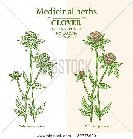 Medical plants and herbs: Clover hand drawn vintage sketch vector illustration