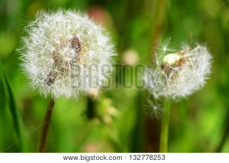 Dandelions close up green grass field in the spring