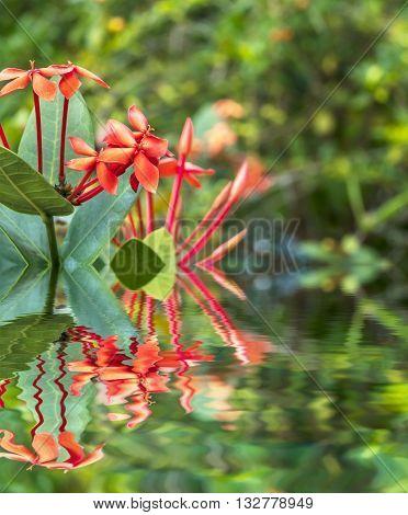 Ixora is a genus of flowering plants in the Rubiaceae family