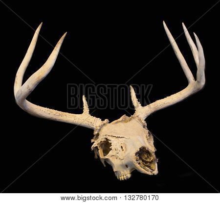 Whitetail buck deer skull with black background