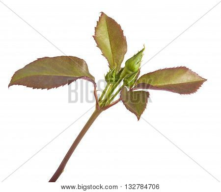 Young Sprout Roses With Tight Buds. Isolated On White Background
