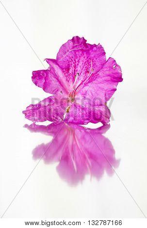 pink azalea flower reflected on white background.