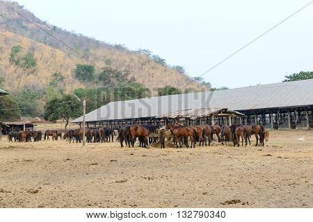 Herd of horses eating dry hay in farm