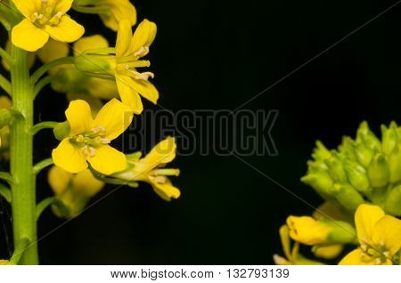 Closeup macro of a Garlic Mustard Weed Flower.