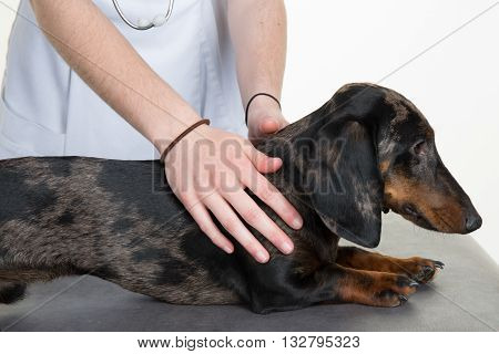 Dachshund In The Hands Of The Vet