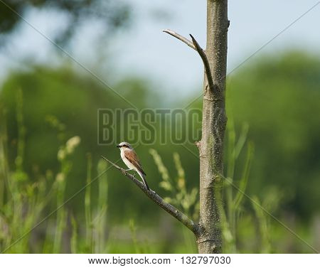 Red backed shrike in the wild perched on a branch