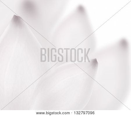 White lily close up background. Beautiful snow white lotus flower petals in macro. Realistic white big flower with blurred parts. Wedding romantic Valentine Day card concept. Lily petals composition.