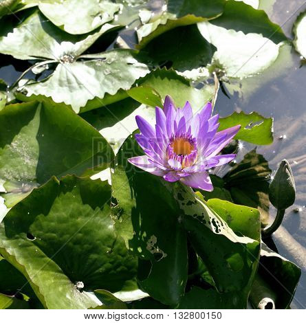 real lake with lotus flowers, wild nature oriental perl