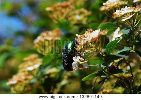 green beetle on a plant flowers summer nature