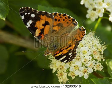 A beautiful painted lady butterfly day eating nectar
