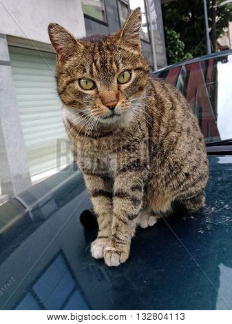 Adorable and curious stray tabby cat sitting on the hood of a car