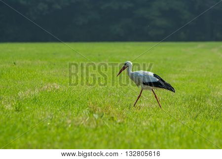 European stork hunting in a field in The Hague, the Netherlands