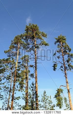 Tall thin pine trees on blue sky background in summer