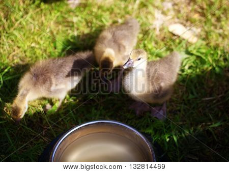 Ducklings on the grass, and water dish