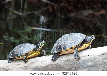 Yellow belly sliders sunning on a log