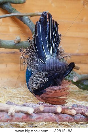 Beautiful peacock from behind displaying his plumage. Portrait of peacock with feathers