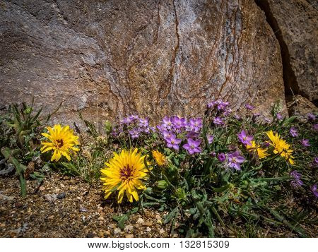 Asteraceae sow thistle flowers growing by the rock in Canary Islands