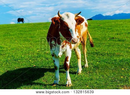 Cow grazing on a beautiful green meadow, with mountains in background