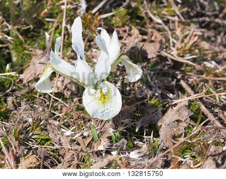 Gentle beautiful bulbous bulbs Dwarf Iris Katharine Hodgkin's blue-purple with yellow specks appeared in the garden in early spring