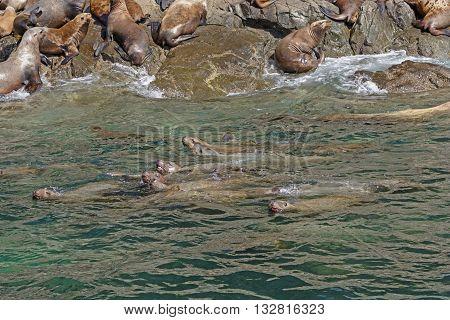 Stellar Sea Lions Swimming along the Shore in Prince William Sound in Alaska