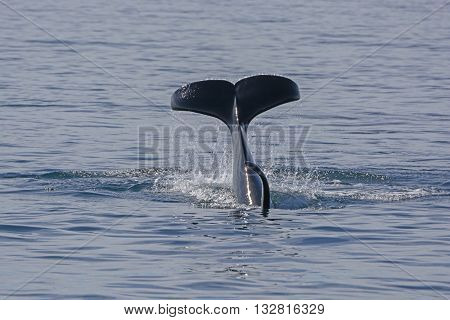 Orca Flukes showing when beginning its dive in Prince William Sound in Alaska
