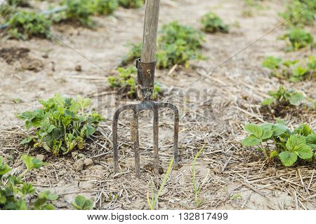 Pitchfork in the ground closeup near strawberry bushes