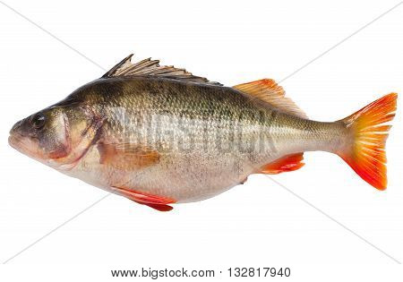 Large river perch isolated on white background