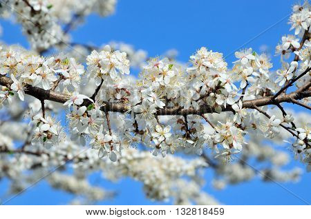 Flowering apricot. White flowers of apricot on a tree branch.
