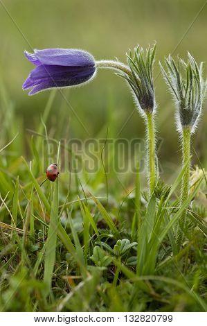 Pasque Flower - Pulsatillla vulgaris & Ladybird