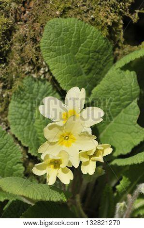 A Primrose - Primula vulgaris  Flowers and Leaves