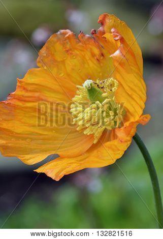 Atlantic Poppy - Papaver atlanticum Naturalised Orange Flower
