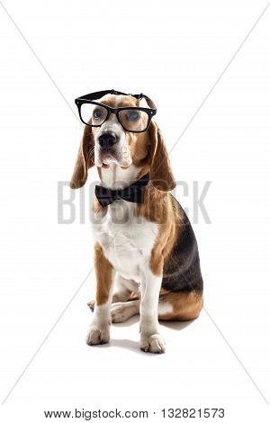 Smart beagle dog is sitting and wearing eyeglasses. Isolated on background