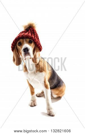 Cute harrier dog has red warm hat on his head. He is sitting and looking forward with curiosity. Isolated on background