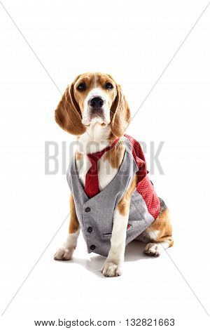 Pretty beagle dog in business suit. He is sitting and looking forward seriously. Isolated